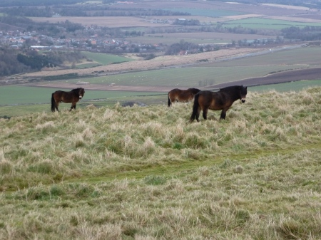 The tiny horses which live on Traprain Law