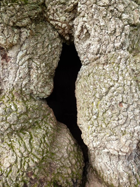 The crevice in the trunk of the Guillotin Oak