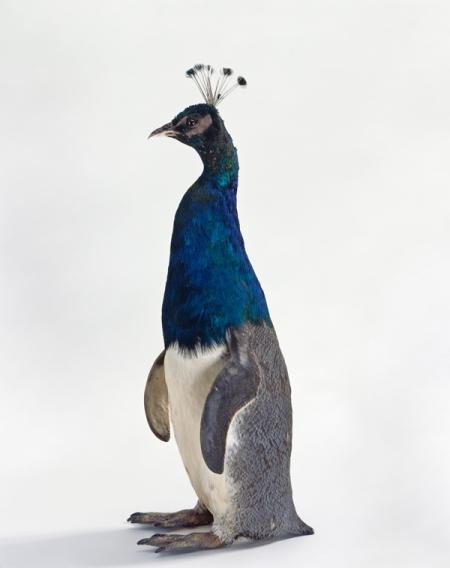Misfit (penguin/peacock),Thomas Grunfeld, 2005 © DACS 2013